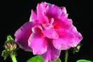 ЕК-Розовые Банты