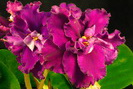 ЕК-Дикая Орхидея