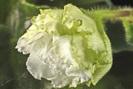 Ек-Зелёные Яблочки