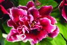 ЕК-Шанхайская Роза