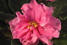 ЕК-Розовая Жемчужина