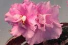 ЕК-Розовый Ангел