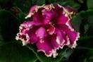 ЕК-Малахитовая Орхидея
