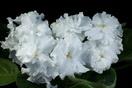 ЕК-Белая Орхидея