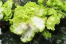 ЕК-Зелёный Какаду