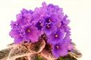 ЕК-Нежные Первоцветы