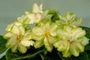 ЕК-Зелёные Хризантемы