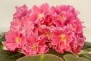 ЕК-Розовая Эшшольция