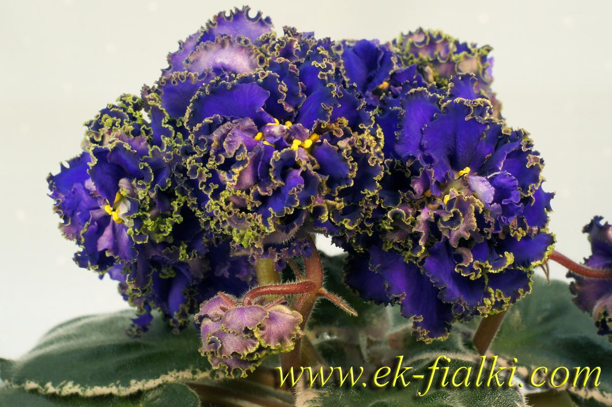 Купить комнатные цветы фиалки католог адреса подарок на 8 марта маме в омске