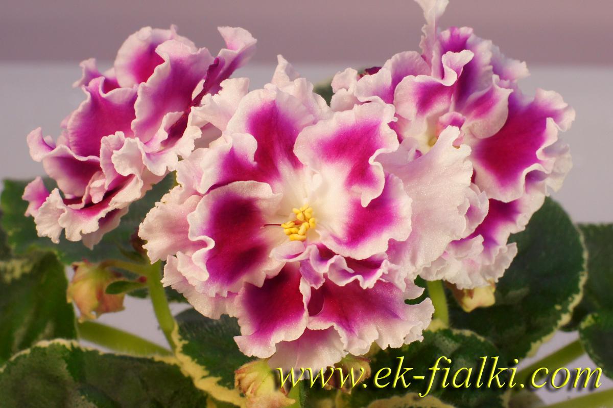 Цветок с розовыми пятнами